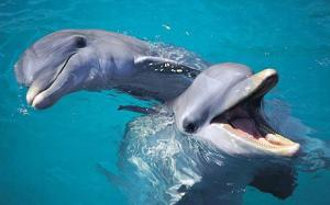 Bottlenose Dolphins - Tursiops Truncatus