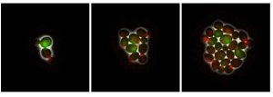 Three fluorescent images of yeast cells as they grow from two single cells (left) to a small cell cluster (right). The green color represents the expression of the HO gene. The red color at the bud neck is a marker for cell cycle.