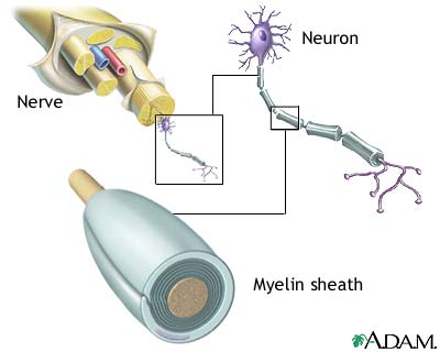 "A diagram of just what exactly myelin is - a.k.a. ""white matter"""