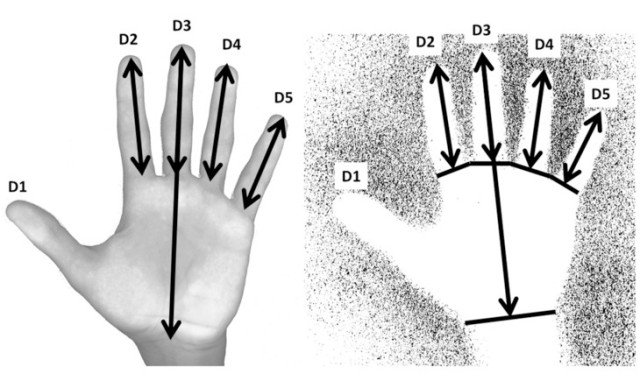 Measurement protocols for hand scans (left) and hand stencils (right). Image: Dean Snow, PSU