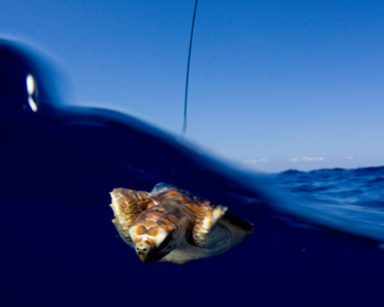 """Newly tagged with a satellite transmitter, a baby loggerhead sea turtle swims into the Gulf Stream and a period of its young lifelong known as the """"lost years."""""""